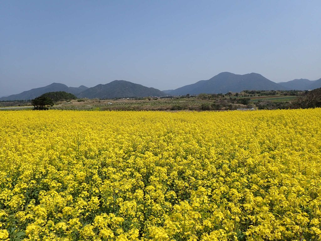 魚津ヶ崎公園の菜の花